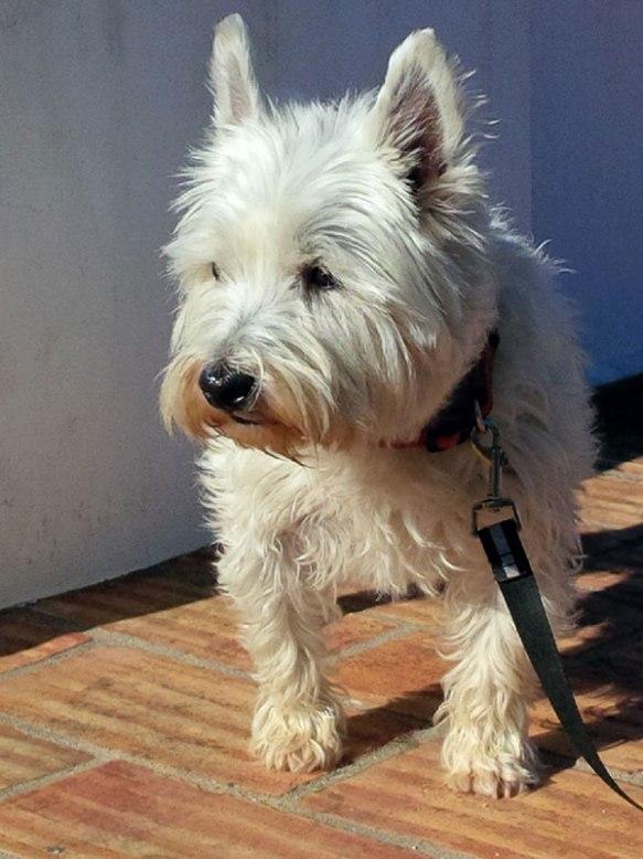 Lovely, lively Westie Poppy