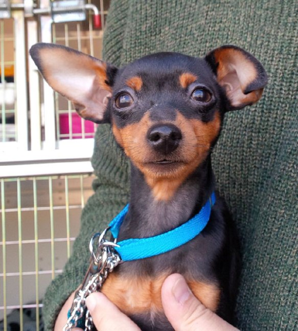 Quite the seasoned traveller by now, mini-Pinscher Blue takes his van-guarding and new-passenger-greeting duties very seriously
