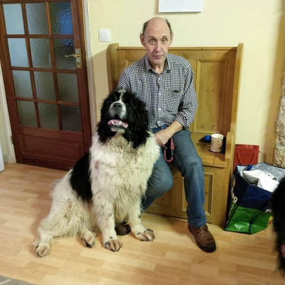 The Newfoundland is a magnificent breed — here's Porscha who, like Bella, weighs in at over 80 kilos. Porscha is both a live wire and gentle and obedient as a lamb — and clearly delighted to be reunited with her dad