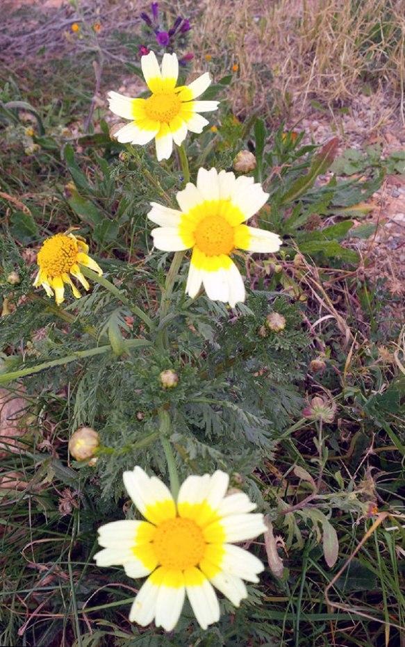 Charming daisy types