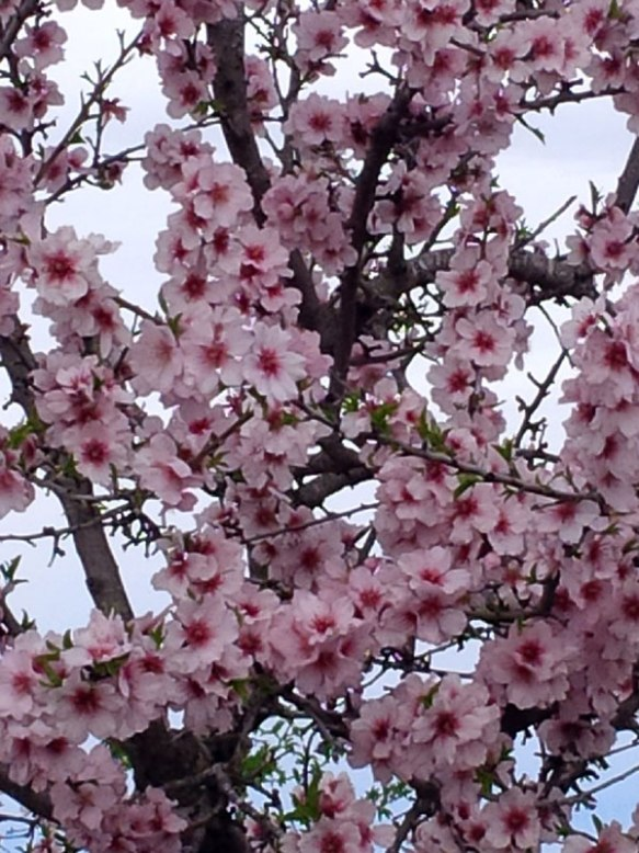 Almond trees in full blossom, despite the biting cold winds…