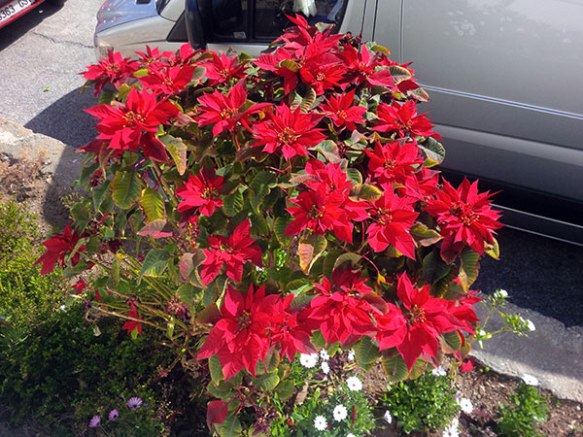 Poinsettias make a striking border plant