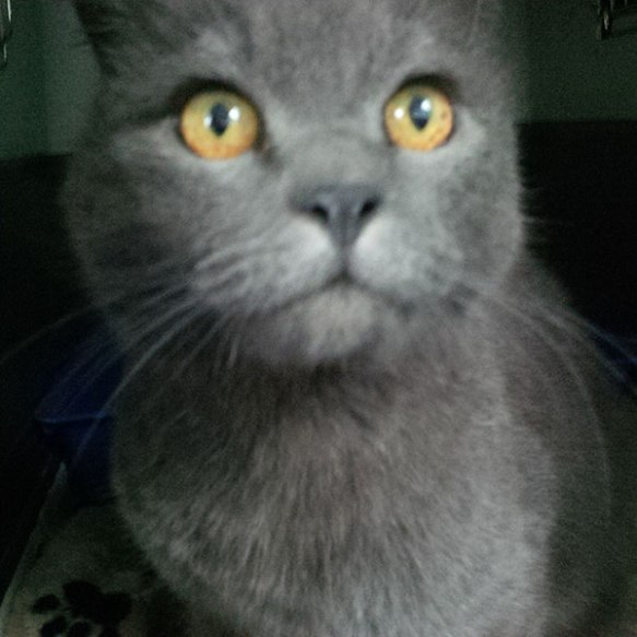 Gorgeous Russian Blue Putin