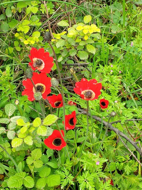 Wonderfully bright poppies