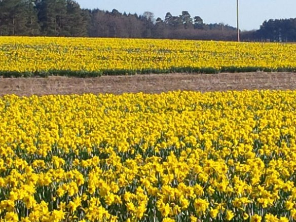No, not Dutch tulips — Scottish daffodils!