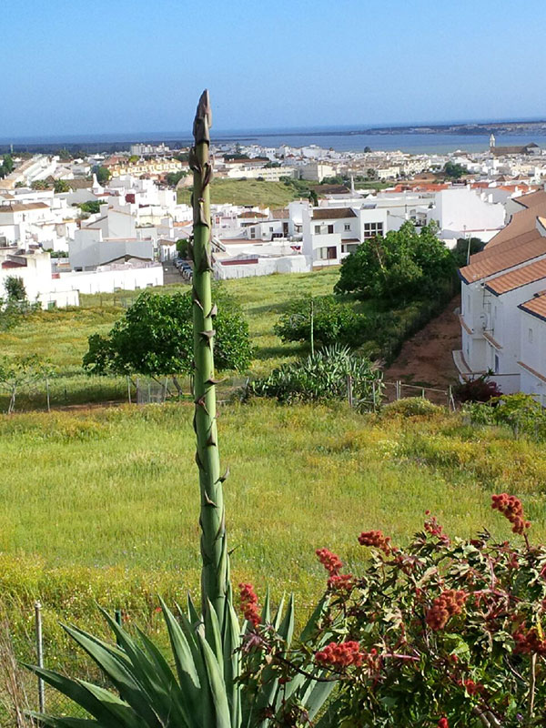 Giant asparagus anyone? This succulent throws up a 10m high flower stalk!