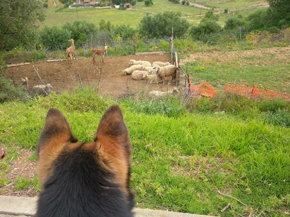 Rafa spotted some sheep on his morning walk and seemed keen to do some shepherding… but realised he wasn't really sure how to go about it!