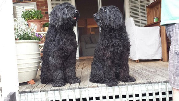 Bella and Louie happy at their new home in Perth