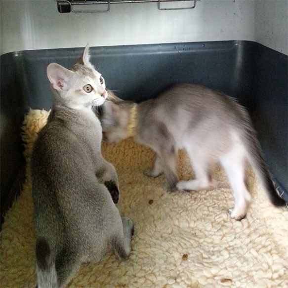 The kittens are a lively pair who enjoy having fun with Courier Mike during feeding time and litter tray cleaning!