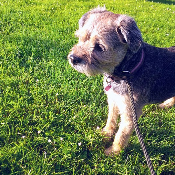 Border Terrier Timmy takes a stroll in the sun