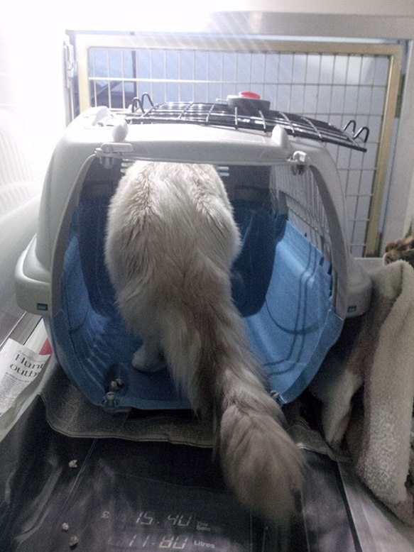 Ragdoll cat Moomin permits us to admire her very floofy tail
