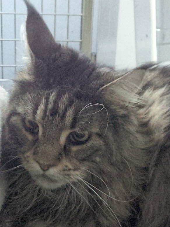 Her feline friend Giacomo is a very handsome Maine Coon