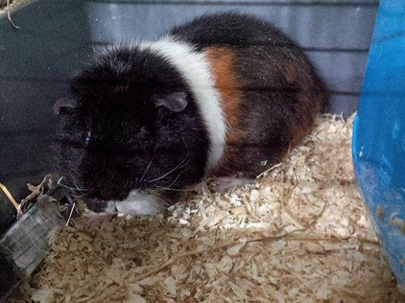 Cute and cuddly guinea pig Lulu
