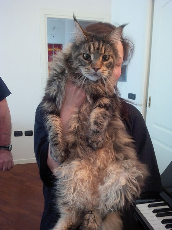 Big hugs for Gorgeous Giacomo the Maine Coon…