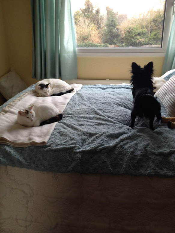 Cookie and Molli with Chihuahua mix Bonnie