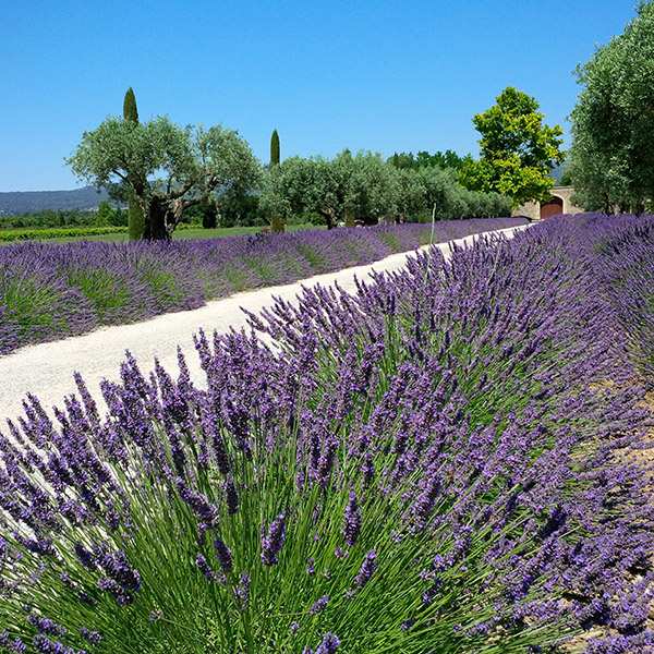 A classic Provence scene — a lavender-lined driveway