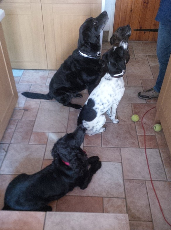 The promise of a treat enabled us to get all three of our houseguests in one shot, along with housedog Pugsley (aka Superbeast). Pugsley is at the back, then Harvey, Macchia and Hector at the front. So keen, even the balls were put down!