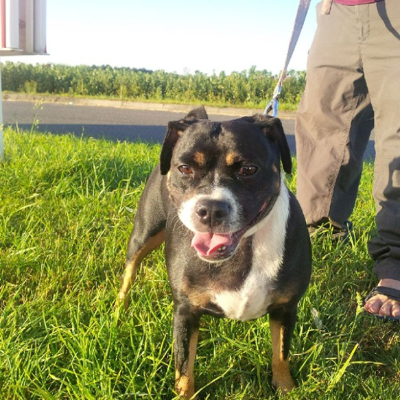 Pretty tri-colour Staffie Beau — the sunshine brings out her lovely markings