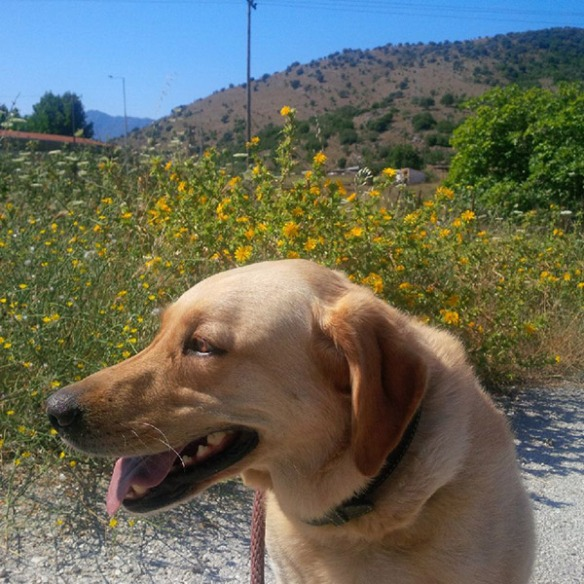Like Beau, Labrador Bumble found the Greek temperatures quite high — both dogs were pleased to get back into our air-conditioned van!