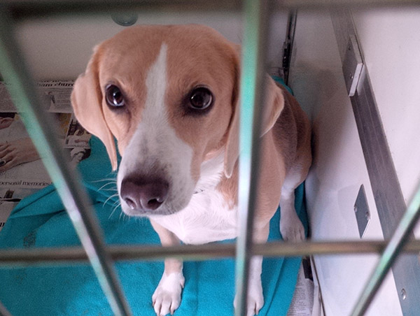 Beau is an exceptionally pretty Beagle