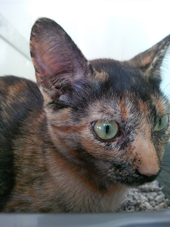 The very beautiful ET, with her tortoiseshell-tabby markings…