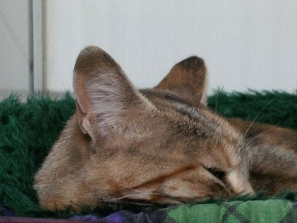 Carriça, on the other hand, is very relaxed and enjoys her snuggly catnaps