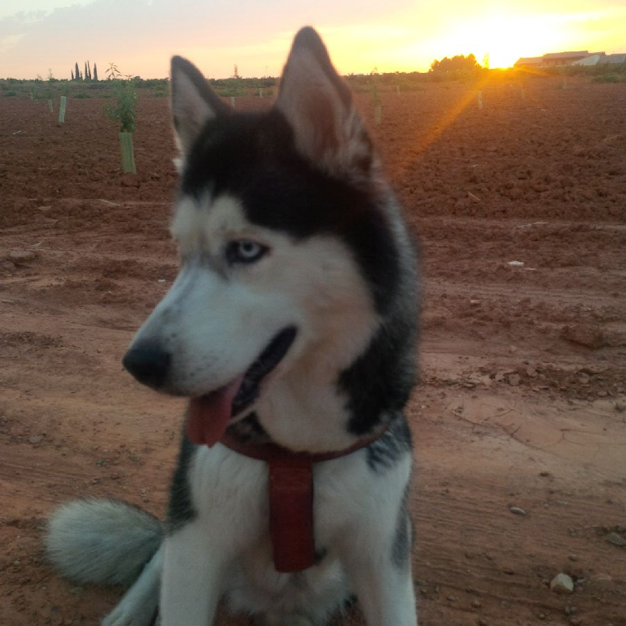 Husky Swarsky poses in front of a newly planted field