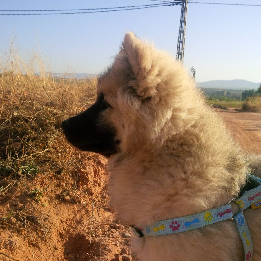 Eurasier Xania enjoys an evening walk