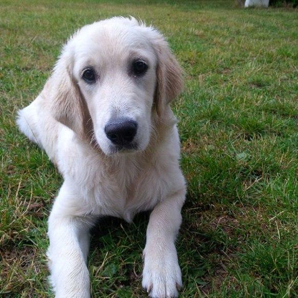 Adorable Golden Retriever pup Heidi