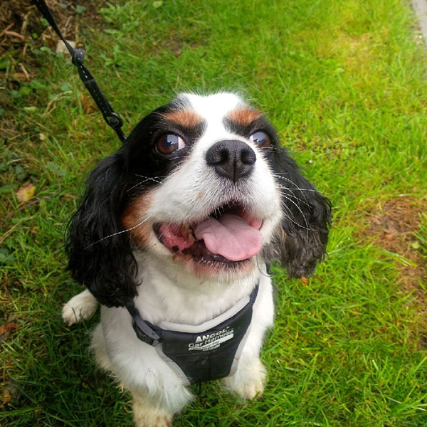 Smiling Cavalier King Charles Archie