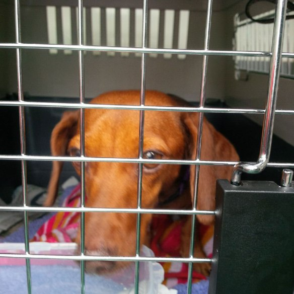 One of the darling Dachshunds, Zoe and Mia, en route to Southampton