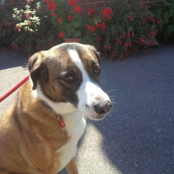 Lovely Lola enjoys a walk