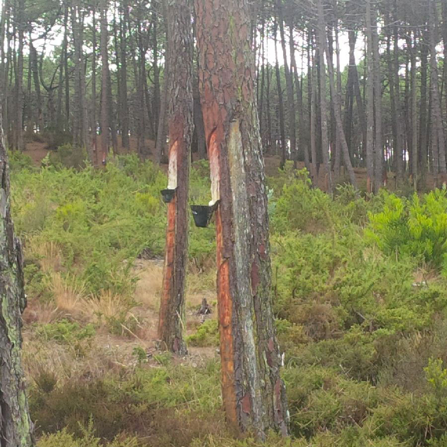 Pine resin collection in Portugal— an average sized pine tree can produce 3 to 4 kg of resin a year. The trees produce the best quality resin during their growing period, between April and September.