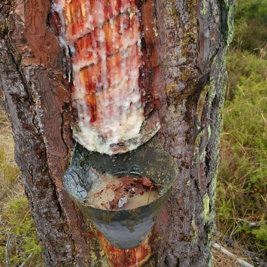 The resin-tapper removes an area of bark at the base of the tree, exposing the wood below. Metal pieces are inserted into the tree to direct the resin flow into a bowl. The resin-tapper collects the resin from the bowl and from the cut in the tree. Over time the bark will grow over the original cut.