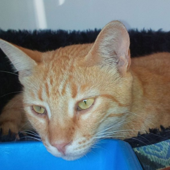 Handsome ginger tabby Jalfraizi. He's been very unwell and everyone was concerned about him, but the good news is that he's fit to travel. He has a compartment to himself and antibiotics to keep him going.