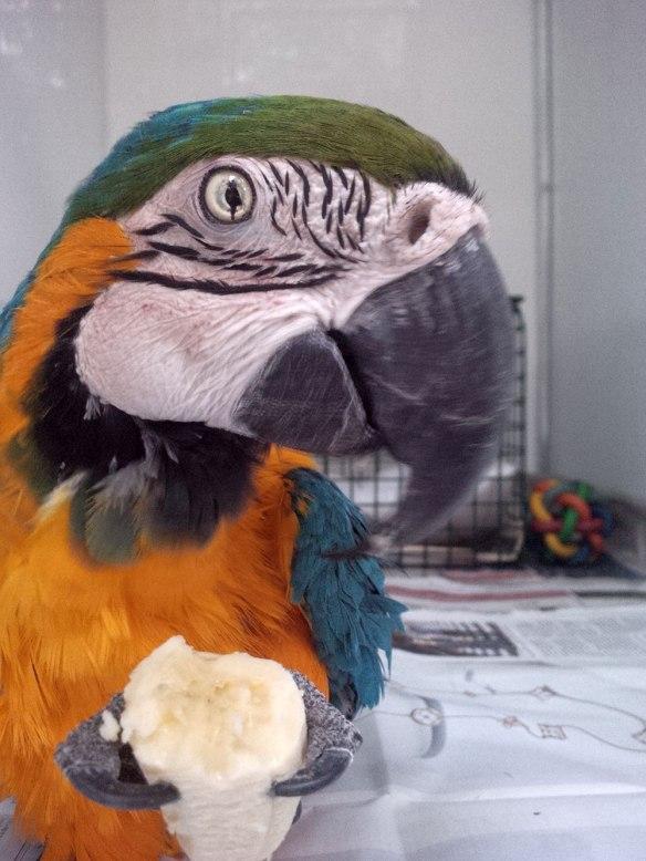 Tardu enjoying a piece of breakfast banana
