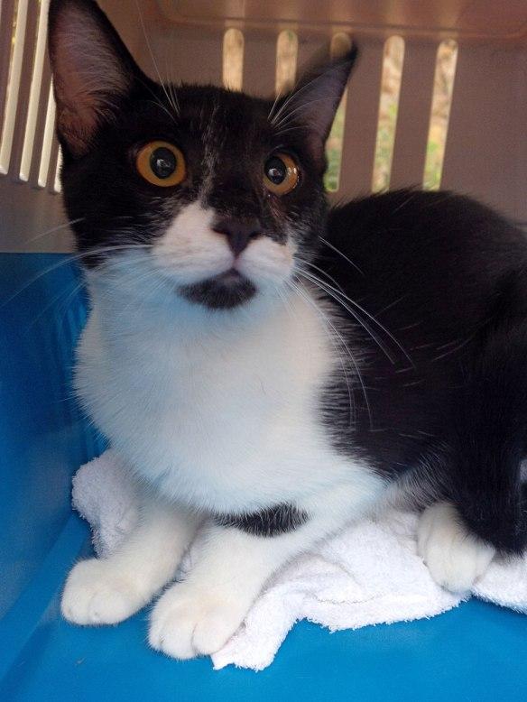 Tuxedo cat Little Paw
