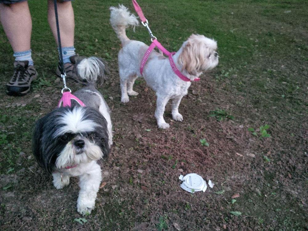 Lola and Honey enjoy their morning walks