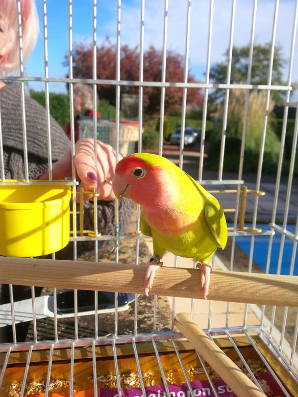 Mal saying goodbye to Rosy Lovebird
