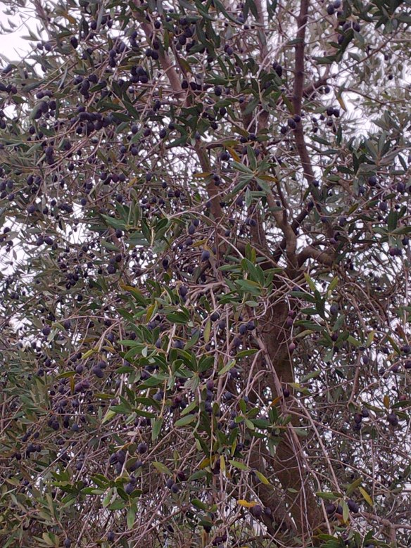 Some olives are left to ripen further, and will be bottled with garlic and herbs
