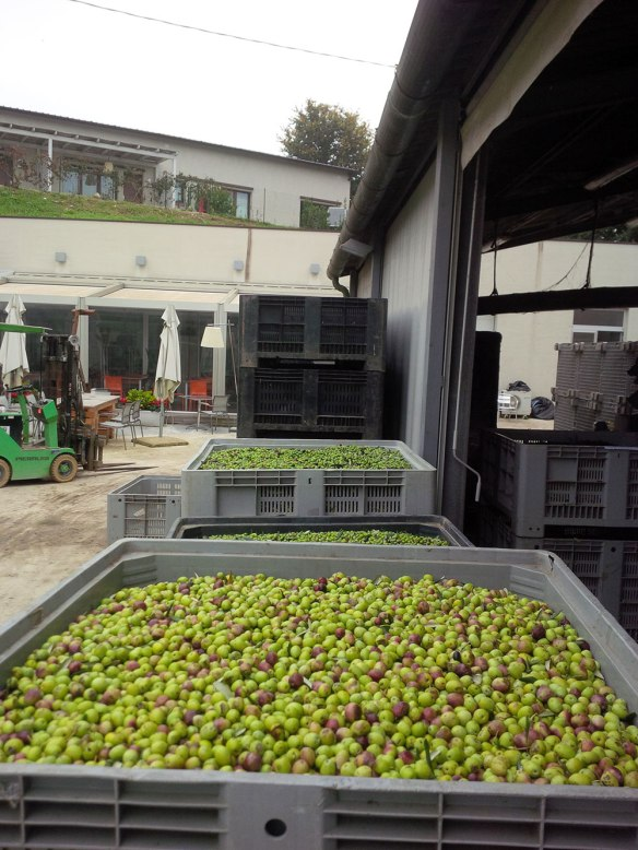 Olives waiting in line for the extraction process