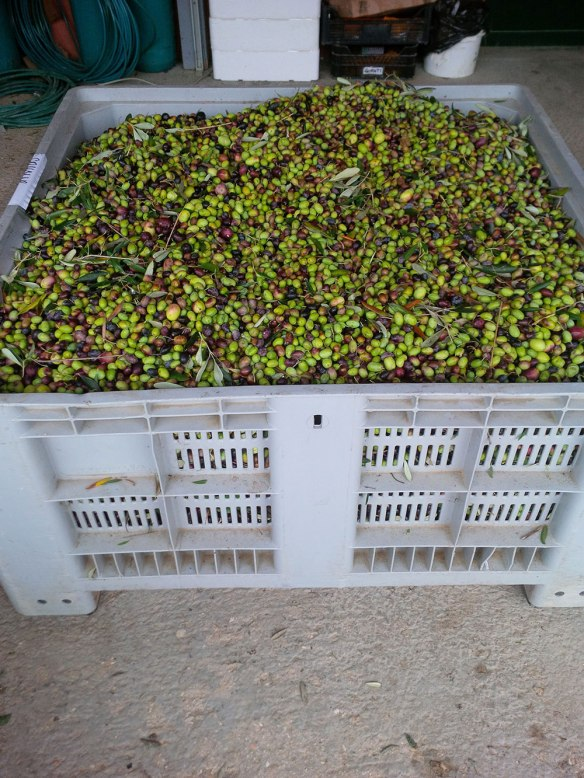 A crate of A3Passi's award-winning olives